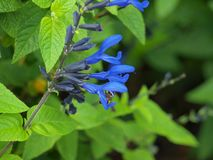 Salvia guaranitica Getting A Lot of Attention. Also known as Black and Blue Salvia, this water wise plant is planted to attract Hummingbirds. It has been stock photography