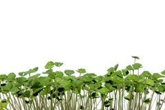 Salvia-hispanica, chia, Sprösslinge von chia Samen auf einem weißen Hintergrund horizontal gelegen an der Unterseite des Bildes lizenzfreies stockbild