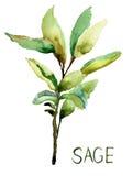 Salvia, illustrazione dell'acquerello Fotografie Stock Libere da Diritti