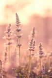 Salvia incredibile Fotografie Stock