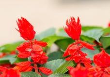 Salvia Ker-ker-gawler splendens στοκ φωτογραφίες