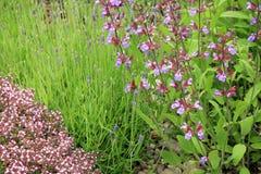 Salvia, lavanda e timo selvaggio Fotografia Stock