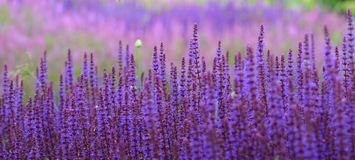 Salvia Lavender Flower Field roxa no fundo borrado imagem de stock royalty free
