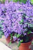 Salvia lyrata. (lyreleaf sage) spring flowering stock images