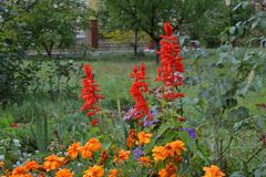 Salvia and the Marigolds. Very beautiful. royalty free stock images