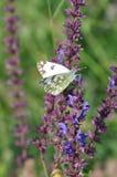 Salvia med fjärilen Arkivfoton