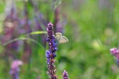 Salvia med fjärilen Arkivfoto