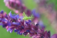 Salvia med gräshoppan Fotografering för Bildbyråer