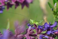 Salvia med gräshoppan Royaltyfri Bild