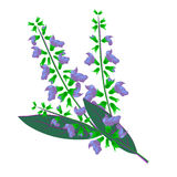 Salvia medicinsk ört stock illustrationer