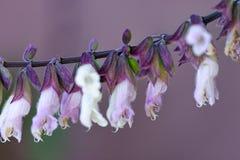 Salvia Mexicana - macro Royalty Free Stock Image