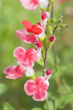 Salvia microphylla Hot Lips Stock Photos