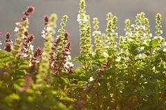 Salvia in the morning sunrays Stock Image