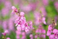 Salvia nemarosa Arkivfoton
