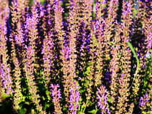 Salvia nemorosa Arkivbilder
