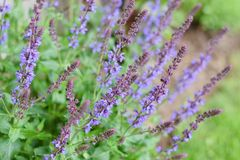 Salvia nemorosa flower blooming in the garden, herb. Sage royalty free stock images
