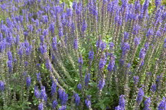 Salvia. Nemorosa - ornamental plant with violet flowers Stock Image