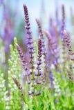 Salvia nemorosa Stock Images