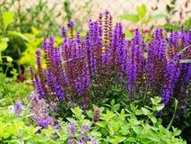 Salvia nemorosa. Woodland sage, Balcan clary (Salvia nemorosa stock photos