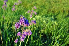 Salvia nutans blooming purple flower on green grass background royalty free stock photo