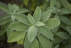 Salvia officinalis关闭  库存照片