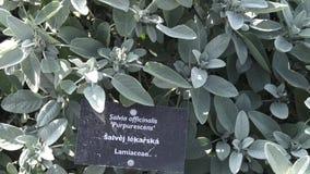 Salvia officinalis在庭院里 香料和草本 Salvia officinalis purpurescens 影视素材