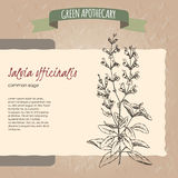 Salvia officinalis aka common sage sketch Royalty Free Stock Photos