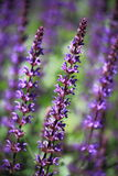 Salvia officinalis blu della collina fotografia stock