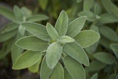 Salvia officinalis close up. Aromatic herb, salvia officinalis close up stock photo