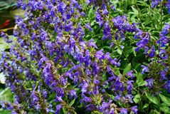 Common sage plant in flower. Royalty Free Stock Image