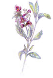 Salvia officinalis. Drawing pencils. Stock Photos