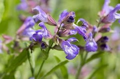 Salvia officinalis evergreen healhty subshrub in bloom, violet purple flowering useful plant. Salvia officinalis evergreen healhty subshrub in bloom, violet stock photos