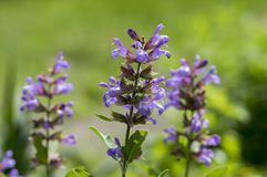 Salvia officinalis evergreen healhty subshrub in bloom, violet purple flowering useful plant. Salvia officinalis evergreen healhty subshrub in bloom, violet royalty free stock photography