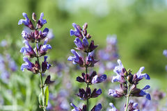 Salvia officinalis Stock Images
