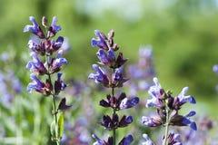 Salvia officinalis Stock Images