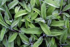 Salvia officinalis with green leaves is a big bush. Back of the leaves of the sage. Salvia officinalis stock photos