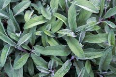 Salvia officinalis with green leaves is a big bush. Back of the leaves of the sage. stock image