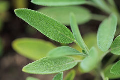 Salvia officinalis. Herbal medicine. Sage, Salvia officinalis. Herbal medicine Stock Images