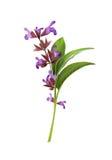 Salvia officinalis illustration. Beautiful fresh realistic Sage medicine illustration royalty free illustration