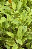 Salvia officinalis L. jecterina royalty free stock photos
