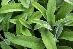 Salvia-officinalis mit grünen Blättern ist ein großer Busch Zurück von den Blättern des Salbeis stockfotografie