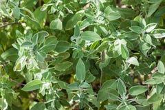 Salvia-officinalis oder allgemeiner Salbei stockfotos