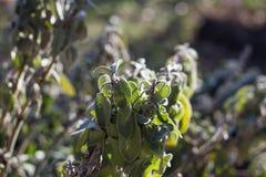 Salvia Officinalis. Plant on Sunset stock photos