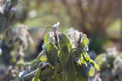 Salvia Officinalis. Plant on Sunset stock image