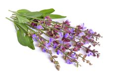 Salvia officinalis. Sage, also called garden sage, or common sage flower stock images