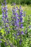 Salvia officinalis (salvia pratensis) Fotografie Stock