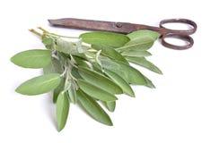 Salvia officinalis, trädgårds- vis man eller kulinarisk vis man Isolerat på wh royaltyfri bild