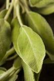 Salvia organica verde cruda Fotografie Stock Libere da Diritti