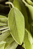 Salvia organica verde cruda Fotografia Stock