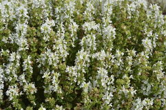 Salvia. Ornamental plant with white flowers Royalty Free Stock Image
